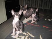 Котята породы Сфинксы донские
